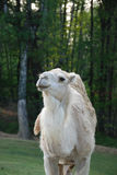 Dromedary. Head with curious look Stock Images