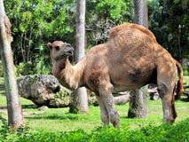 Dromedary-Kamel lizenzfreie stockfotografie