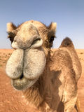Dromedary looking into camera, closeup vertical portrait. Stock Image