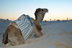 Dromedary no por do sol Imagem de Stock