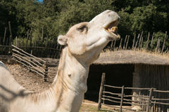 Dromedary with open mouth Royalty Free Stock Images
