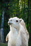 Dromedary. In a park in Italy Royalty Free Stock Photography