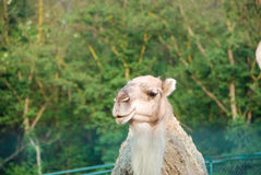 Dromedary. In a park in Italy Stock Photography