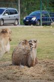Dromedary in a park in Italy. A quiet dromedary in a park in northern Italy Stock Photos