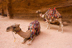 Dromedary in Petra Jordan Royalty Free Stock Images