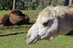 Dromedary photo Royalty Free Stock Photography
