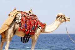 Dromedary by the red sea Stock Image