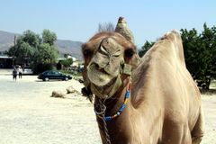 Dromedary's portrait Stock Images