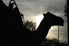 Dromedary's profile Royalty Free Stock Photo