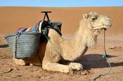 Dromedary in Sahara Stock Photo