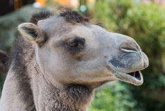 Dromedary side portrait Stock Photo