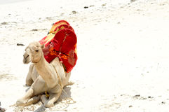 Dromedary sitting on Bamburi Royalty Free Stock Image