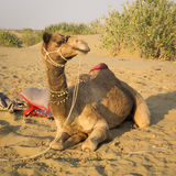 Dromedary is sitting. Stock Photography