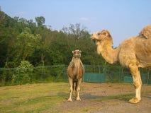 Dromedary. Two dromedary in a park Royalty Free Stock Image