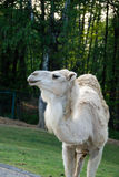 Dromedary. Walking dromedary in a park Royalty Free Stock Images