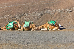 Dromedarys at Timanfaya national park in Lanzarote Stock Photo