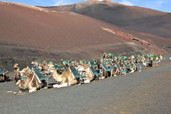 Dromedarys at Timanfaya national park in Lanzarote Royalty Free Stock Images