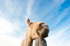 Dromend paard Royalty-vrije Stock Foto