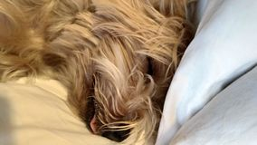 Dromende hond royalty-vrije stock afbeelding