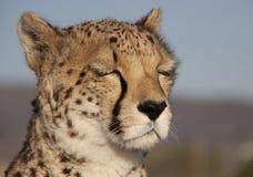 Dromende jachtluipaard Royalty-vrije Stock Foto's