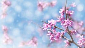 Dromerig beeld van een Oostelijke boom Redbud in bloei royalty-vrije stock afbeeldingen