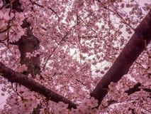 Dromerig Cherry Blossoms royalty-vrije stock foto's