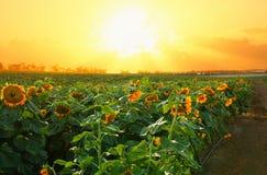 Dromerig en abstract beeld van gebied van mooie zonnebloemen Royalty-vrije Stock Foto's
