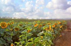 Dromerig en abstract beeld van gebied van mooie zonnebloemen Stock Fotografie