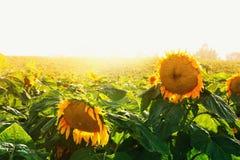 Dromerig gebied van mooie zonnebloemen bij zonsonderganglicht Stock Foto