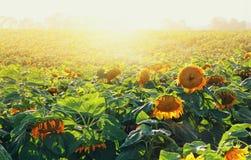 Dromerig gebied van mooie zonnebloemen bij zonsonderganglicht Royalty-vrije Stock Fotografie