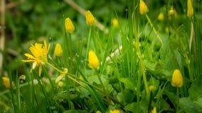 Dromerig menings geel bloeiend gras met dauwdalingen Royalty-vrije Stock Foto's