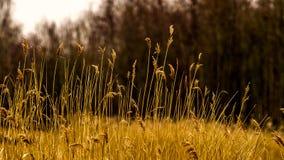 Dromerige mening door eeuwigdurend geel gras Stock Afbeeldingen