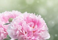 Dromerige roze pioenen Royalty-vrije Stock Foto's