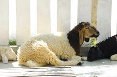 Dromerige schapen Stock Fotografie