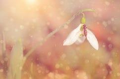 Dromerige sneeuwklokjebloem Royalty-vrije Stock Afbeelding
