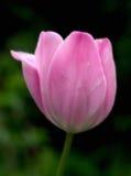 Dromerige tulp royalty-vrije stock afbeeldingen