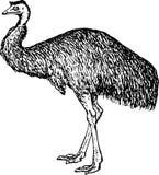 dromiceiidae鸸 库存图片