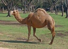 Dromidary wielbłąda odprowadzenie Zdjęcia Stock