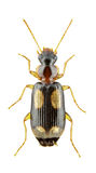 Dromius quadrimaculatus Stock Photo