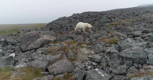 Polar bear on the rocky island in summer stock video