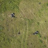Drone aerial view of cows royalty free stock images