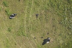 Drone aerial view of cows stock photo