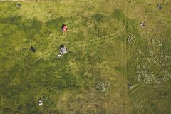 Drone aerial view of cows royalty free stock photography
