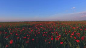 Drone aerial view of flowers field in Netherlands, Holland. stock video footage