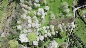 Drone aerial view of fruit plants in bloom in spring stock footage
