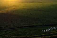 Drone aerial view with green sunflower field royalty free stock photo