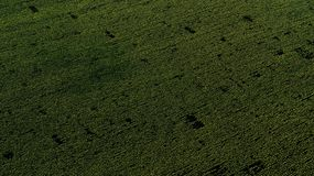 Drone aerial view with green sunflower field stock photo