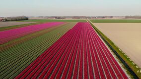 Drone aerial view red pink tulips during sunset, tulip fileds in the Netherlands Noordoostpolder, beautiful sunset