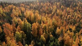 Drone autumn forest snow fall mountains aircraft stock video