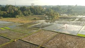 Drone  or bird eyeview  of bali Rice Field stock video